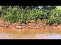 คลิป เสือโหด VS กินจระเข้ยักษ์