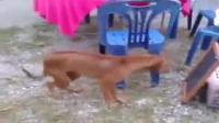 """คลิป น้องหมาพันธุ์ไทยเต้นรำตามจังหวะเสียงเพลง""""ผู้หญิงลั้ลล้า""""อย่างเร้าร้อนได้อารมณ์"""