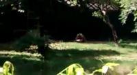 เกิดเหตุสยองไม่คาดฝัน เสือขาวขย้ำชายหนุ่มกระโดดลงไปในกรงจนเสียชีวิต ที่สวนสัตว์น