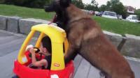 คลิป สุนัขเข็นรถให้เด็ก