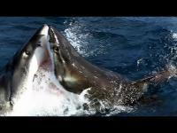ฉลาม ชน ฉลาม ! ศึกใหญ่กลางน้ำ ที่ไม่ค่อยได้เห็น