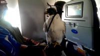 คลิป เหยี่ยว สัตว์เลี้ยงโดยสารไปกับเครื่องบิน 1