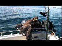 นกอินทรีบาดเจ็บ ว่ายน้ำมาให้คนช่วย เป็นภาพที่น่ารักมากๆ