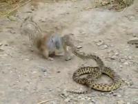 กระรอกโจมตีงู