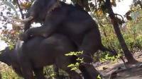 ช้าง ผสมพันธุ์