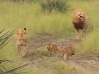 ครอบครัวสิงโต
