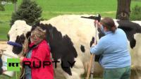 วัวตัวใหญ่ที่สุดในโลก
