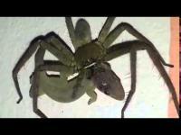 หาดูยาก! วินาทีแมงมุมกินจิ้งจก รอดไม่รอด