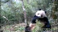 """คลิป กองทุนสัตว์ป่าโลกในจีนเผยภาพแพนด้ายักษ์ในป่ามณฑลเสฉวนกำลัง """"ช่วยตัวเอง"""""""