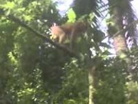 ให้ลิงขึ้นต้นกระท่อม