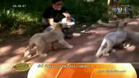 เรื่องเล่าเช้านี้ - สวนสัตว์อุบลฯเผยโฉม 3 ลูกสิงโตขาวตั้งชื่อตามซุปตาร์ดัง