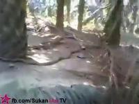 จับงูจงอาง ตัวใหญ่มากๆในสวนปาล์ม
