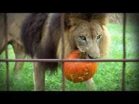 มาดูสวนสัตว์เค้าฉลองฮาโลวีนให้เหล่า เสือ และ สิงโต