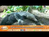 คลิป เรื่องเล่าเช้านี้ - สวนสัตว์เปิดเขาเขียวเผยโฉมลูกตัวกินมดยักษ์ ต้อนรับวันพ่อ