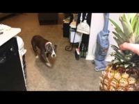 เสียชื่อ Pit bull หมดกลัวได้แม้กระทั่งสับปะรด