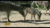 เรื่องเล่าเช้านี้ - สวนสัตว์โคราช ใช้กระสอบป่าน-ติดหลอดไฟช่วยสัตว์คลายหนาว