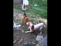 หมา VS ไก่ มาดูกันว่าใครจะชนะ