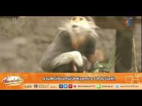 คลิป เรื่องเล่าเช้านี้ - สวนสัตว์เชียงใหม่เปิดตัวลูกค่าง5สี รับวันเด็ก