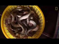 มหกรรมล่างูทะเลของเวียดนาม ปีๆนึงได้ 80 ตัน ขนลุก