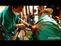 คลิป ผ่าท้องวัวในอินเดีย สิ่งที่เจอนี่เกินความคาดหมายมาก