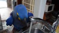 คลิป นกแก้ว แสนรู้ เปิดน้ำก๊อกอาบเอง
