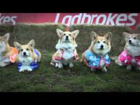 แข่งวิ่งสุนัขพันธุ์ Corgi เรียกได้ว่าเป็นการแข่งวิ่งที่น่ารักที่สุดในโลก