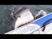 ภาพจริงเมื่อ ฉลามขาว ตรงเข้ามากัดเรือยางของนักดำน้ำ และเรือกำลังรั่ว