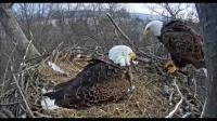 คลิป น่าเหลือเชื่อมากสำหรับภาพการกกไข่ของนกอินทรีท่ามกลางกองหิมะที่สูงจนแทบจะกลบหัว