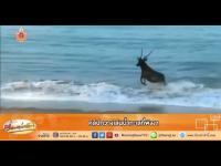 เรื่องเล่าเช้านี้ - คลิปกวางเล่นน้ำทะเลที่พังงา