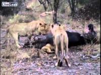 เฮ้ยเข้าไปยังไง ! ลูกสิงโตดวงซวย หัวติดในตูดควายป่า