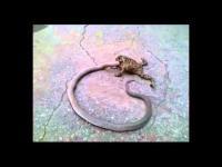 คลิป เฮ้ย...แปลกแต่จริง คางคกกินงู คิดพิษใช่มั้ยเนี่ยว่างูมันมีพิษ ?