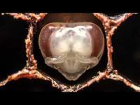 คลิปหาชมยาก มาชมวินาทีแรกของผึ้ง ตั้งแต่ตัวอ่อนยันโตเต็มวัย