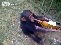 คลิป ชิมแปนซี ขี้เมา