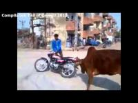 Compilation Fail of Cow !!! 2015