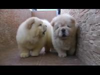 ลูกหมา สุนัข สัตว์เลี้ยง แสนรู้ สัตว์ น่ารัก