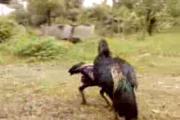 ไก่ชนสาดำ