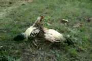 ไก่พม่า