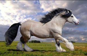 ม้าสวย ม้าสง่า ม้าเตี่ย ม้าใหญ่ ที่สุดในโลก