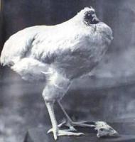 ไก่ไร้หัว