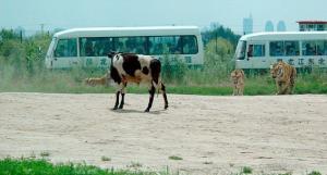 สุดเถื่อน เกินบรรยาย วิธีการให้อาหารเสือ ในสวนสัตว์ของจีน คิดขึ้นมาได้ไง