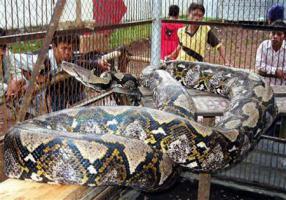 งูหลาม สัตว์ snake  animals
