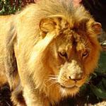 นักท่องเที่ยว ดวงซวย โดน ฝูงสิงโต รุมฉีกร่าง ตายสยอง