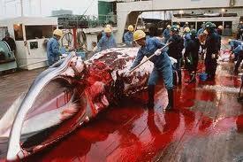 ล่าวาฬ ความโหดร้ายของมนุษย์