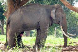 ช้าง ตกมัน กาญจนบุรี ตาย ไทรโยค