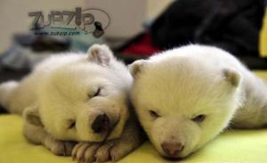 เผยโฉม หมีขั้วโลก แฝด ตัวผู้ ตัวเมีย คู่แรก ของจีน
