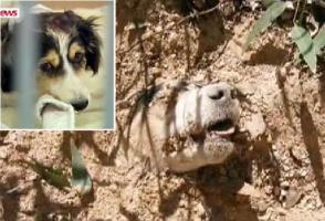 หมา จอมอึด ถูก ยิง 40 นัด มัดแขนขา ฝังทั้งเป็น รอด ปาฏิหาริย์