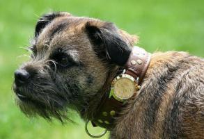 นาฬิกา, บอร์เดอร์ เทอร์เรีย, ปลอกคอ, สุนัข, อังกฤษ, เพ็ทช้อป, โรเล็กซ์