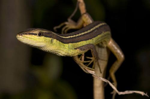 Asian lizard long tailed