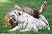 น่าทึ่ง สัตว์ล่าเนื้อ สิงโต กับ เสือ เล่น หยอกล้อ กัน เป็น เพื่อนรัก