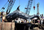 ฉลามวาฬ  ฉลามยักษ์ ยาว 41 ฟุต  ทะเลอาระเบียน ปากีสถาน